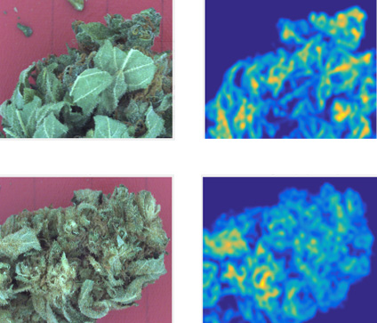 Images Analysis by GemmaCert of Trichome Spread in Cannabis Flowers