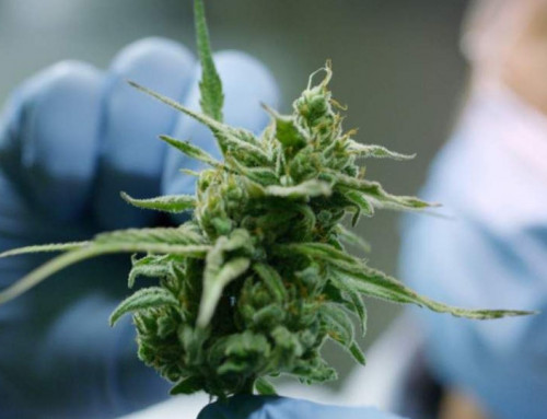 Estimating Cannabis Potency: Not Only By HPLC