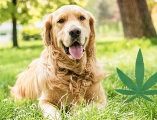 What you should know before treating your pet with CBD?