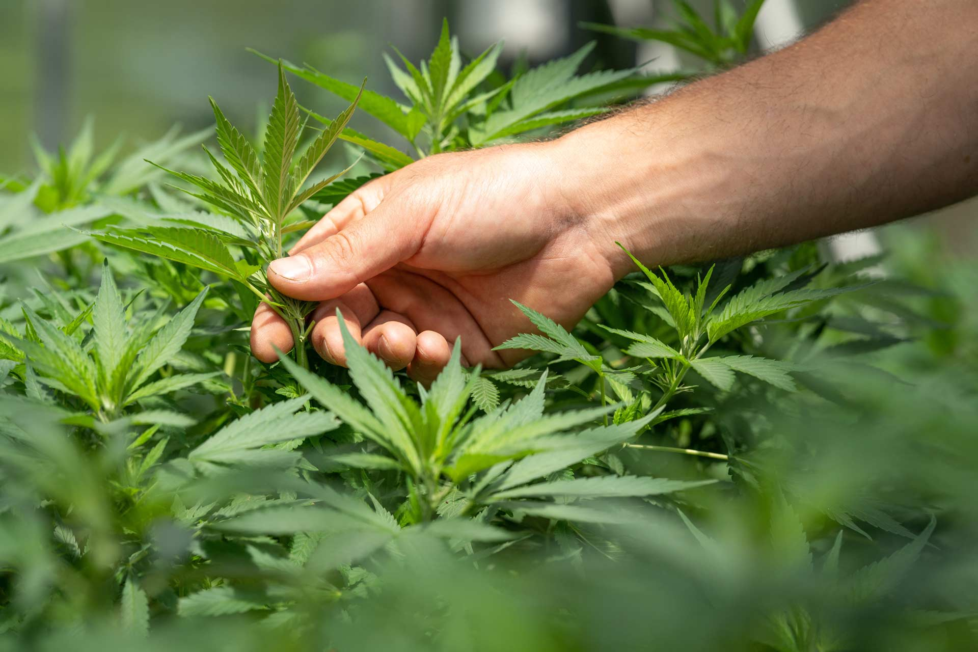 hand touches growing cannabis plant